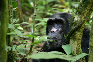 COMP-Laura Pimia - Chimp in Kibale - 2012