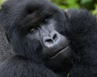 Increase in Gorilla Numbers