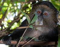 Virunga Endangered Primates