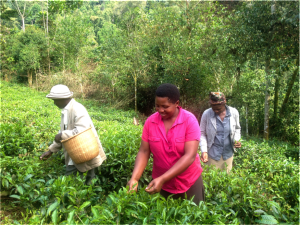 The community people picking tea.