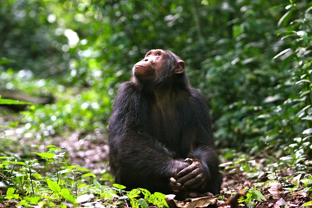 Chimpanzee looking into the Sky.