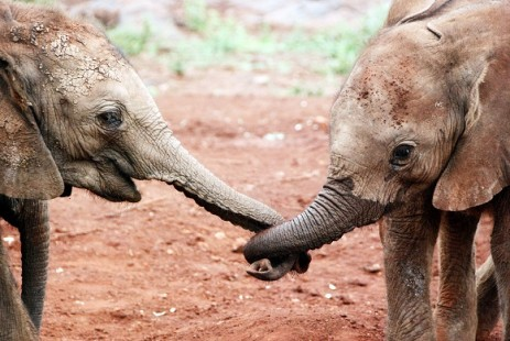 Volcanoes Safaris Valentine's Offer Elephant trunks entwined