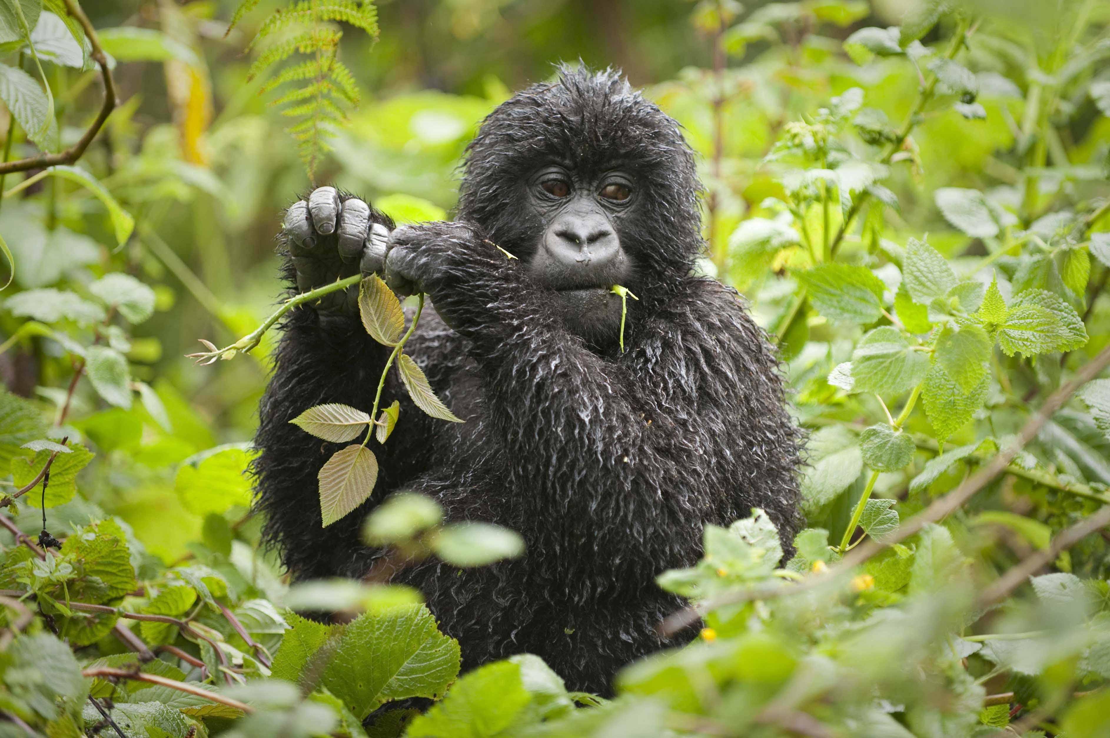 16 Virunga Gorilla