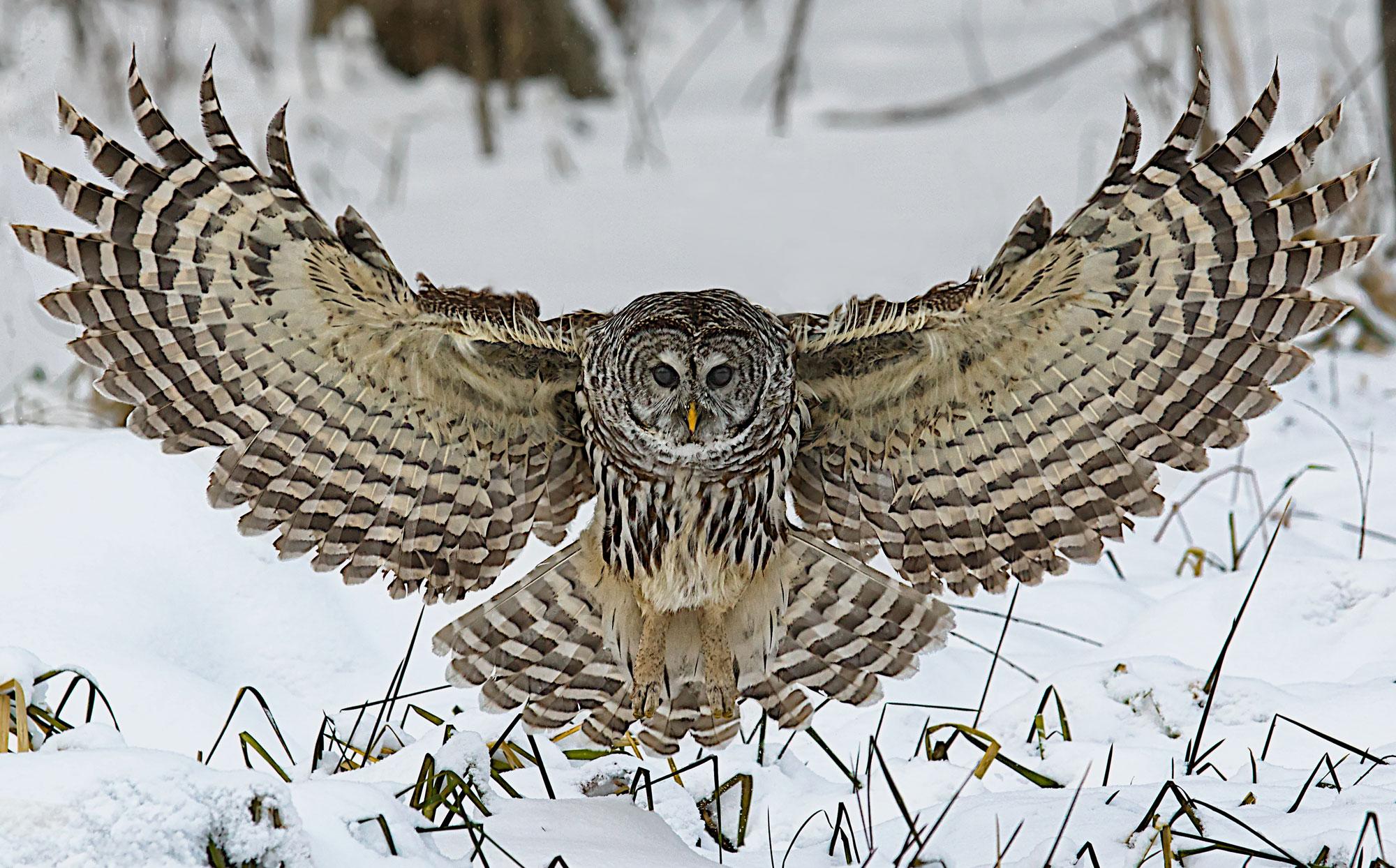 Owl-SC-NO-WATERMARK-web