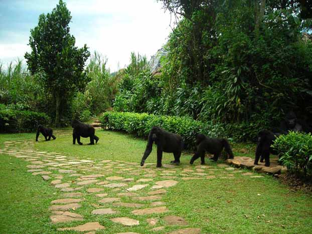 Mountain Gorillas visit Bwindi Lodge
