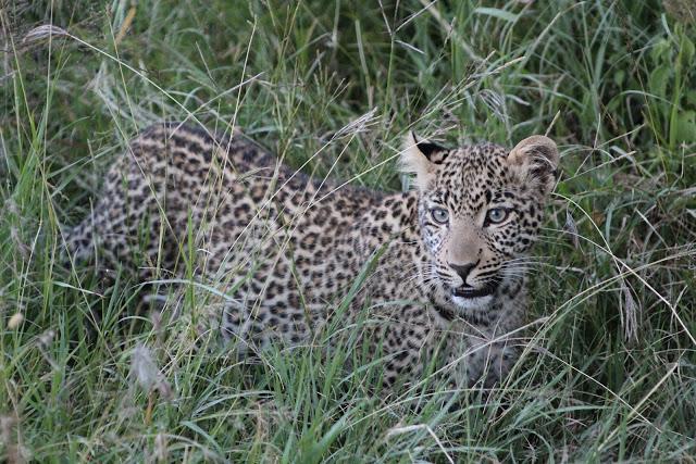 Leopard-MK