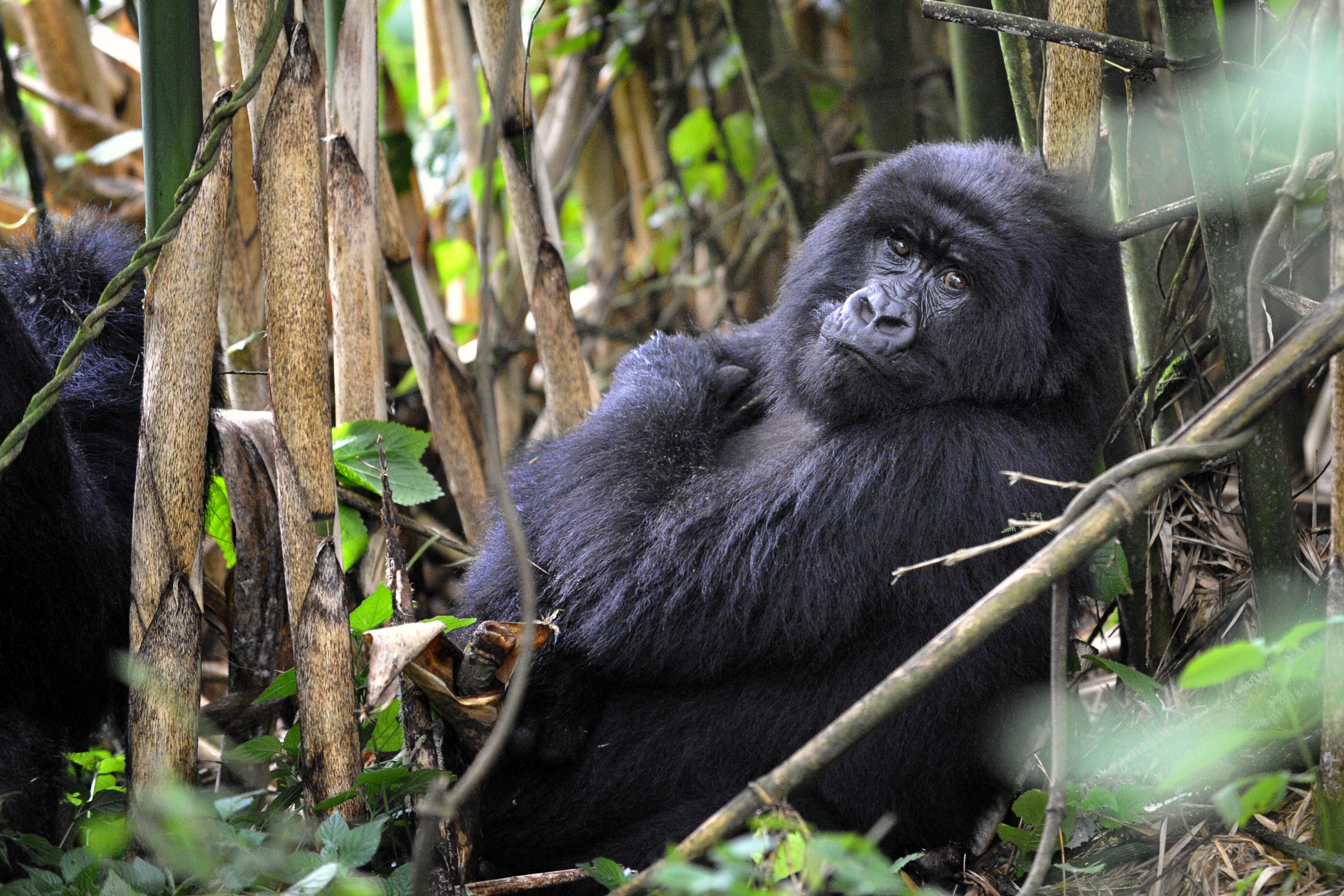 BLO-Bored Gorilla-XX13