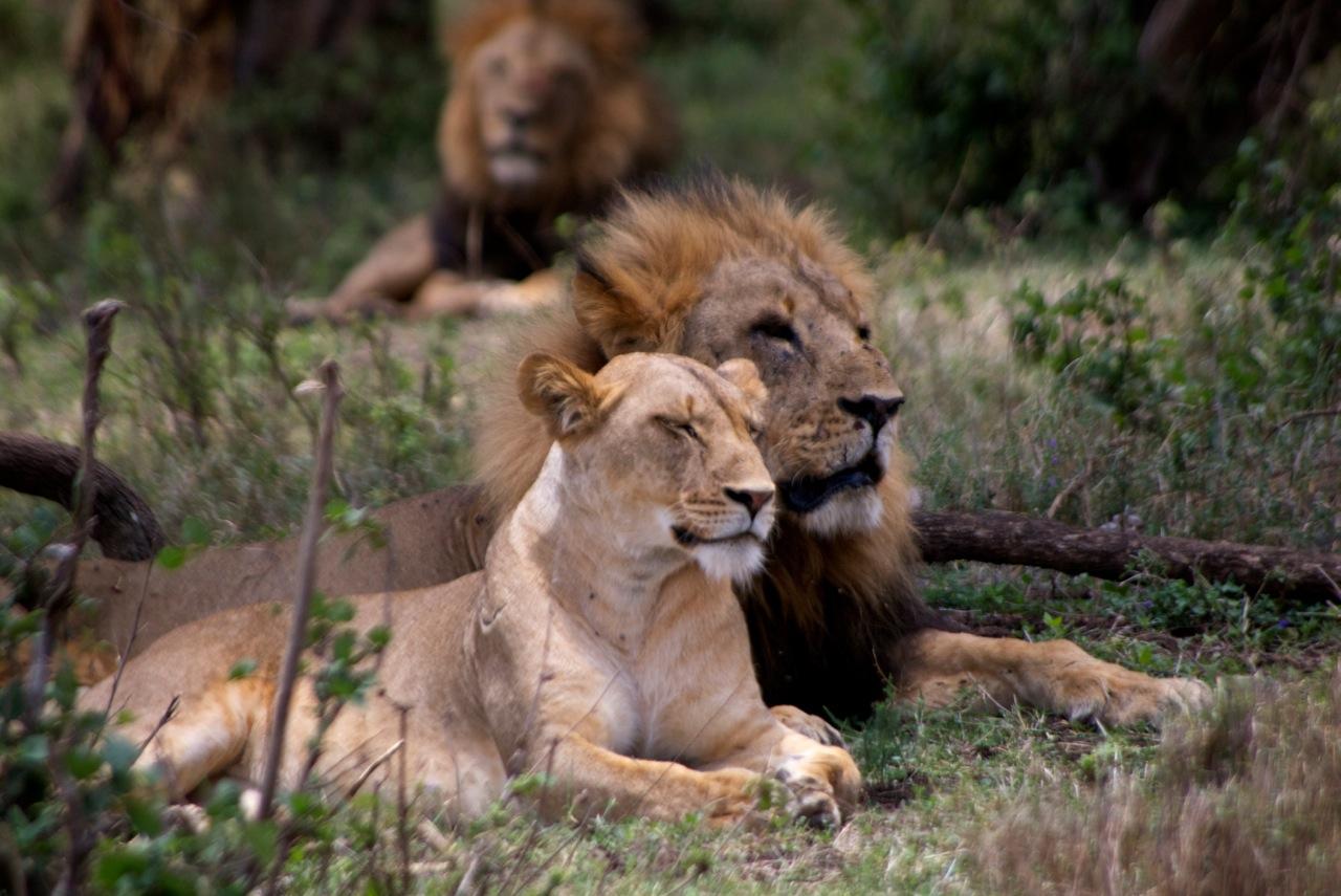 Lions-BR