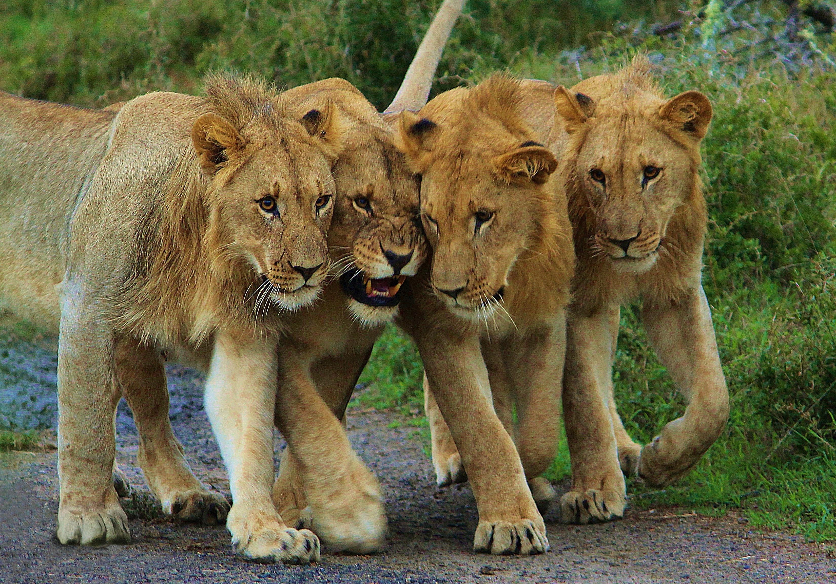 Lions-LW