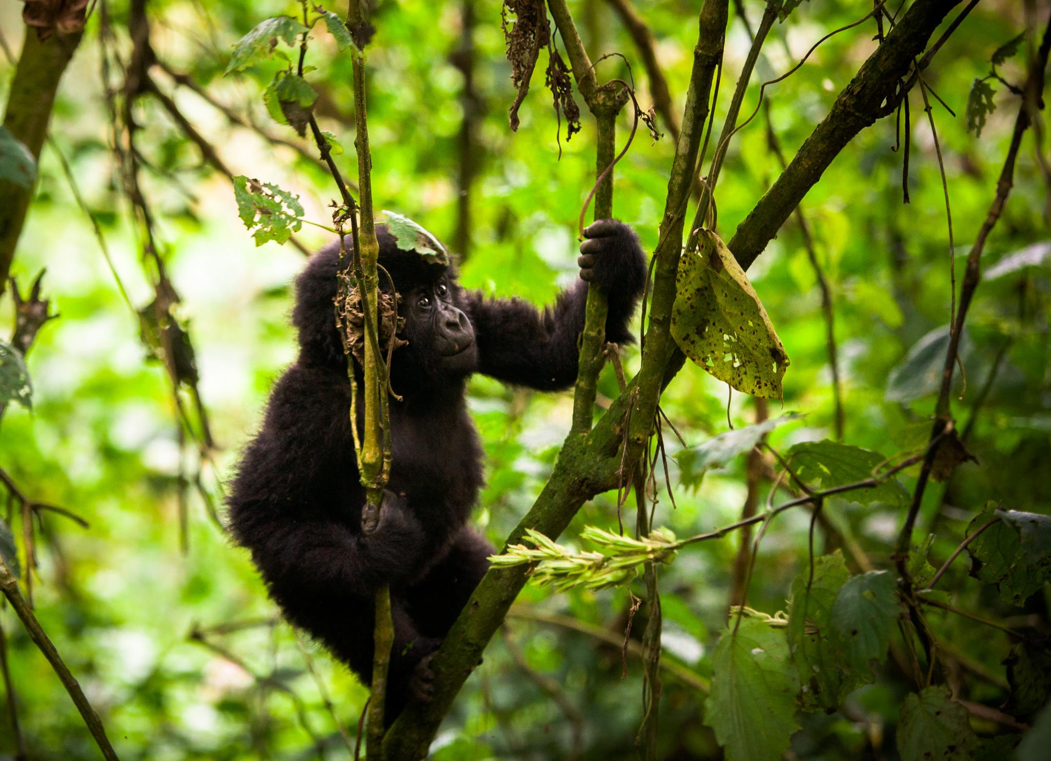 Baby Gorilla-JSA(1)