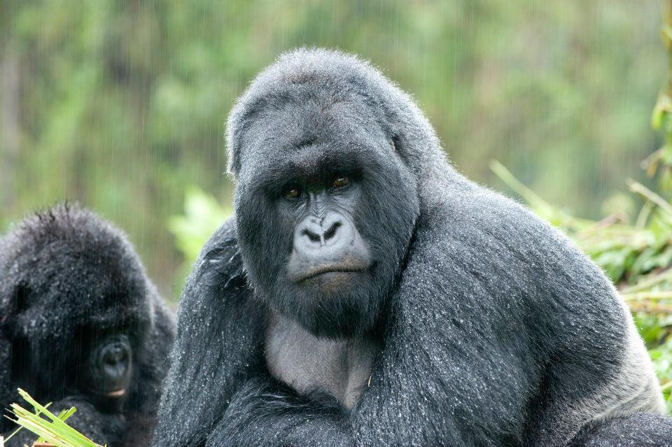 9 Gorilla