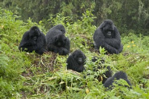 Mountain Gorilla family in rain