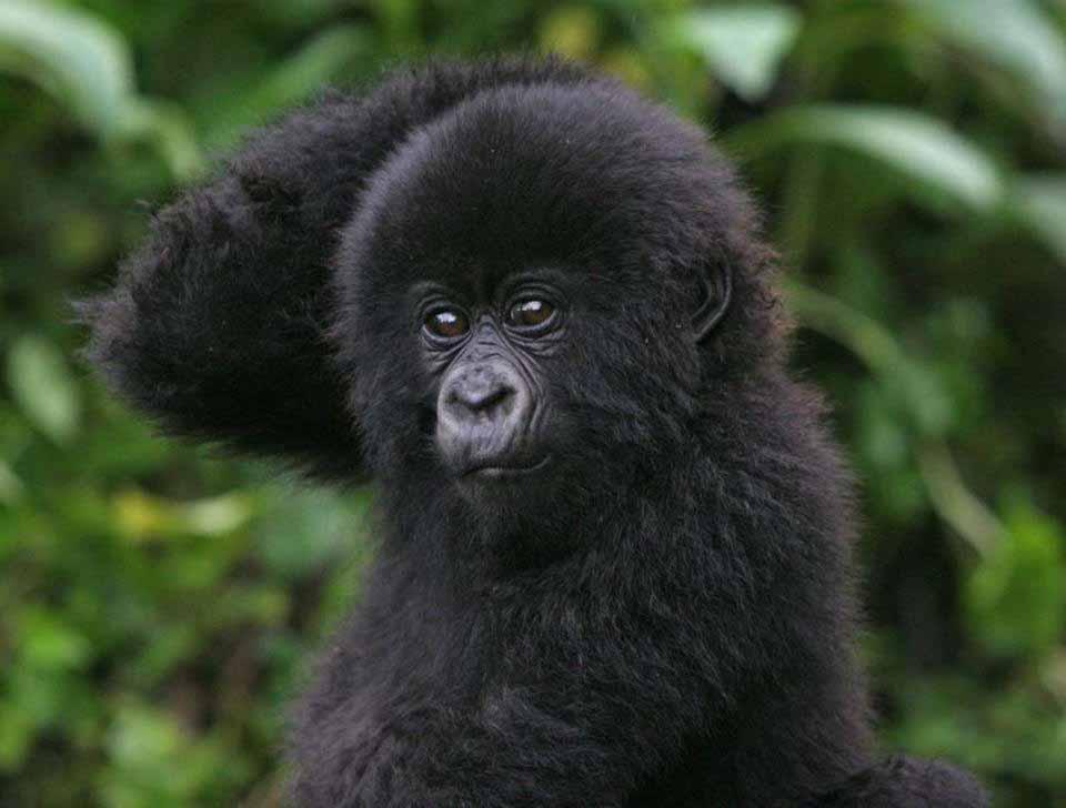 15-gorilla-jpeg