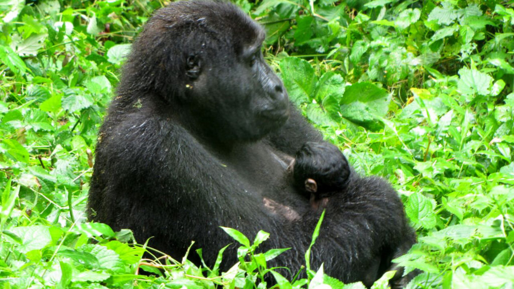 baby-gorilla-born-2016-11-11-at-bwindi-national-park03